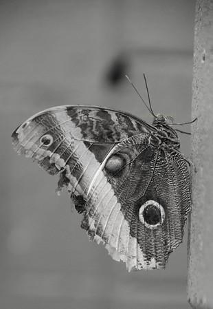 Butterfly B&W  Nikon3694