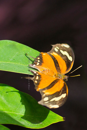 gold butterfly on leaves purple back9730
