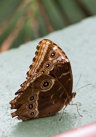brown bottom wings of blue butterfly 9714