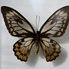 Female O. Croesus Lydias.