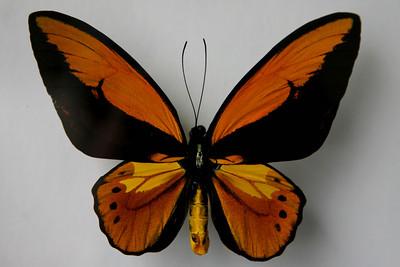 Wallace's Golden Birdwing