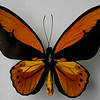 Golden Birdwing, Ornithorptera Croesus, is from the Spice islands (Moluccas).