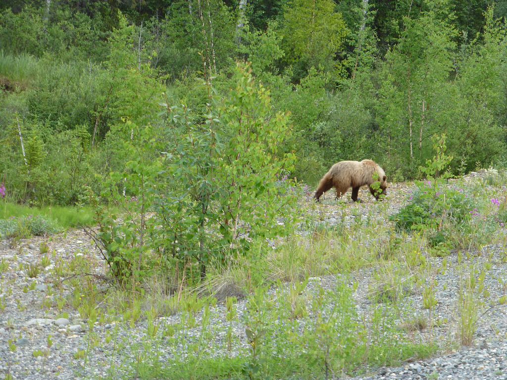 Heres your basic grizzly...another one back in the brush that you can't see. Had to be ready to drop the camera and drop the clutch in a heartbeat....which is about how long it takes one of them to cover about 10 yards....gotta respect that...