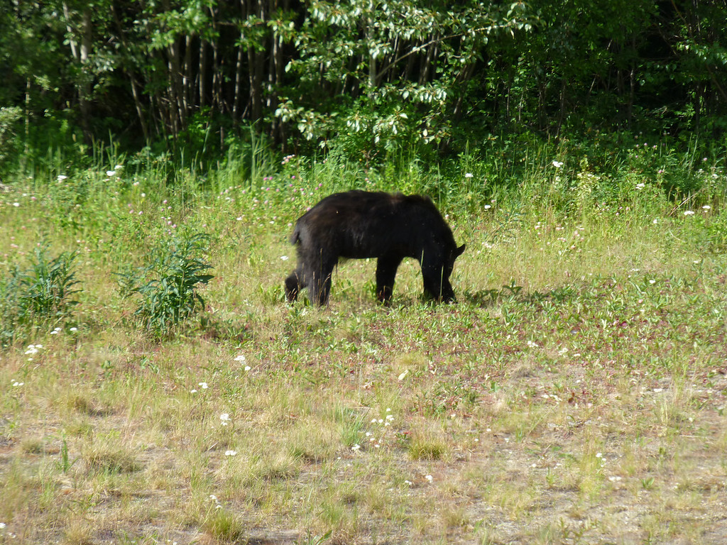 So, I saddled up and continued south. Saw a lot of black bear, and this one didn't seem to mind me stopping to take it's picture....ignored me in fact...