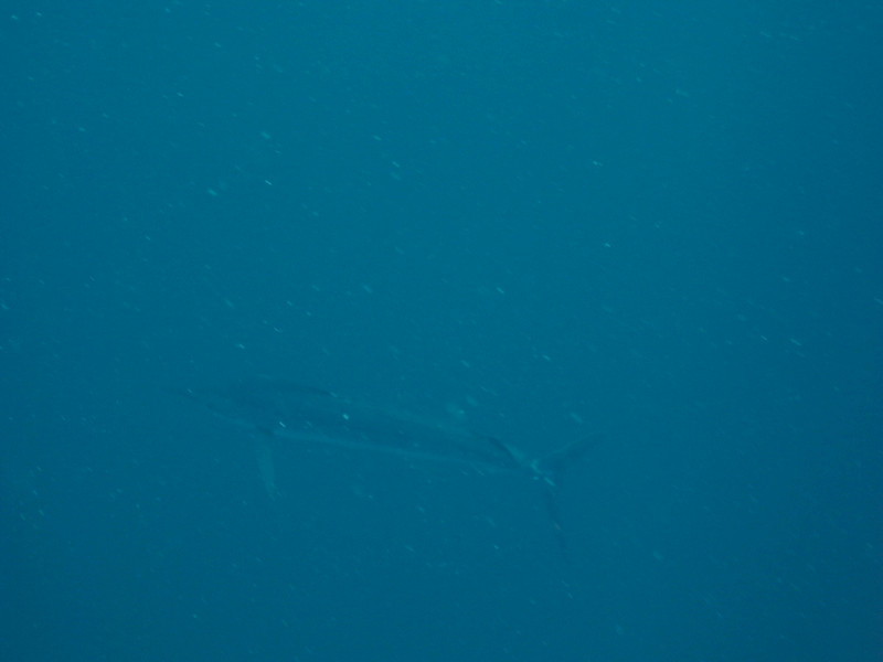 Sailfish at Gordo Banks - Cabo San Lucas <br /> It does exist, I was the only one that saw it but I snapped a photo of it!