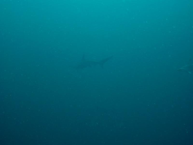 Hammerhead Shark - Gordo Banks (Cabo San Lucas)