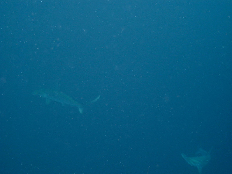 Hammerhead Sharks at Gordo Banks - Cabo San Lucas