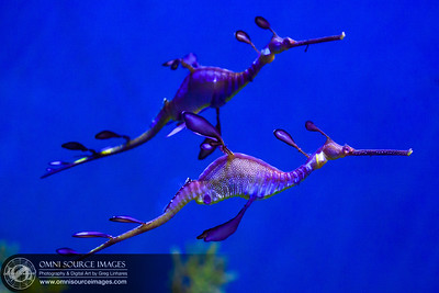 Weedy Sea Dragons. 1/160 sec at f/2.8, ISO 2500, 95mm.