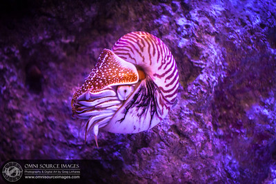 """The Chambered Nautilus (Nautilus pompilus) is a """"living fossil"""" species which is largely the same as it was more than 400 million years ago."""