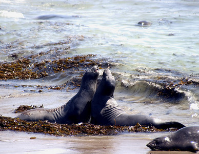 Elephant seals, Piedras Blancas