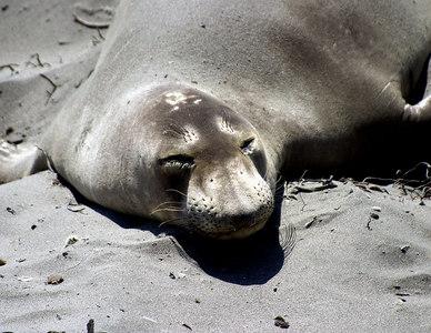 Elephant seal, Piedras Blancas