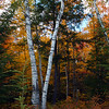 BACKLIT BIRCHES