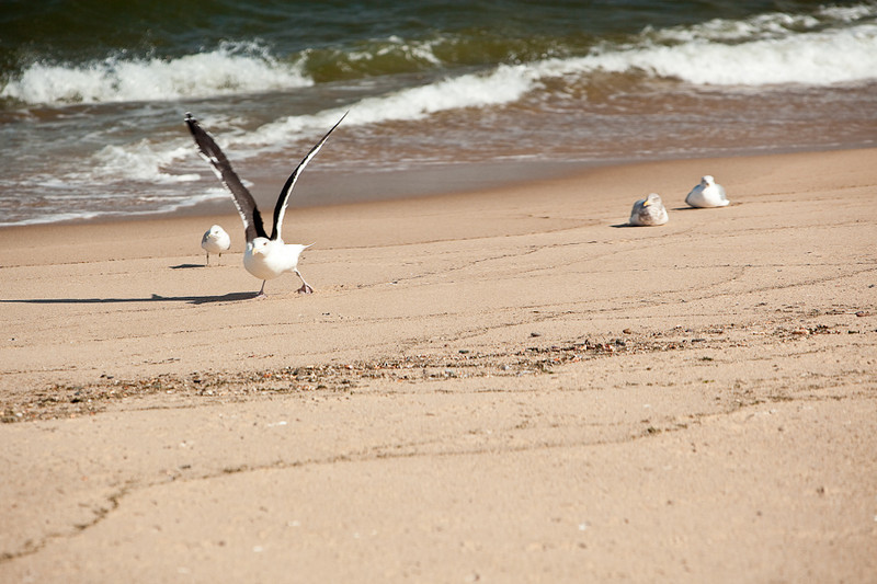 GULLS ON THE BEACH AT CAPE COD NATIONAL SEASHORE