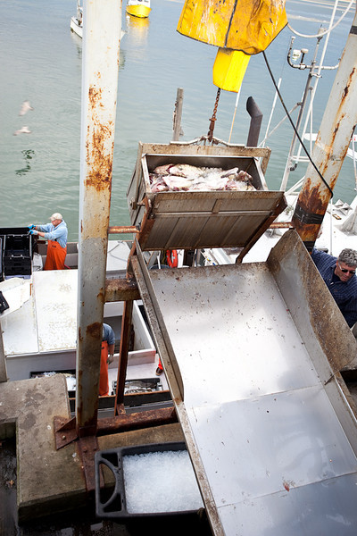 UNLOADING COD AT CHATHAM FISH PIER