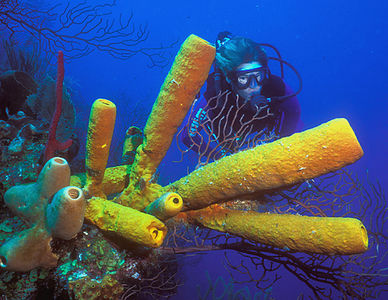 Scuba diving in Caribbean; tube sponges