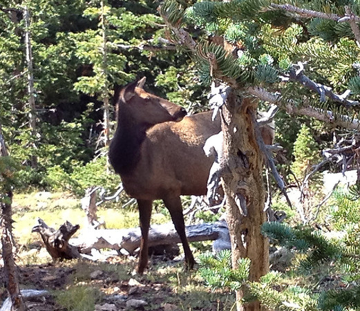 Elk at the side of the road
