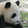 Saw a lot of pandas climbing trees and playing around - they look so cute, resemble cuddly toys more than live animals.
