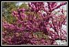 Tree blossoms...