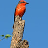 VERMILLION FLYCATCHER, male