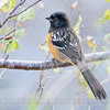 SPOTTED TOWHEE, male