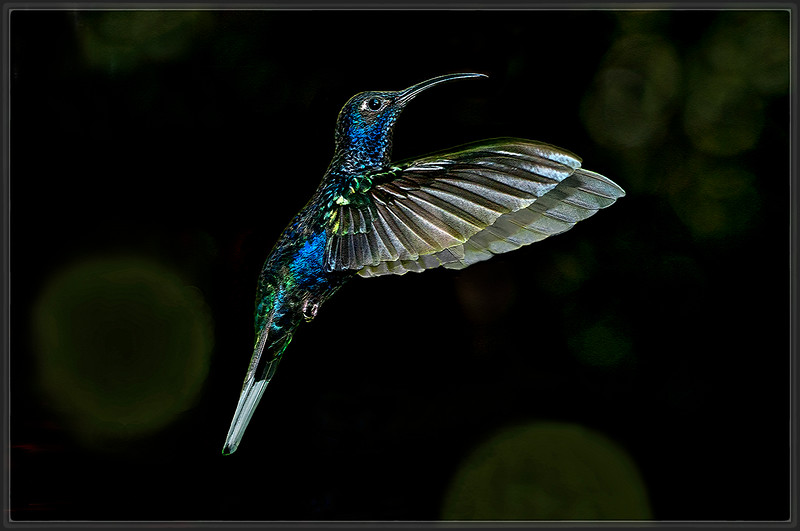 Violet Sabrewing Hummingbird (B)