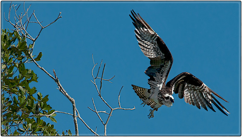 Osprey after Prey