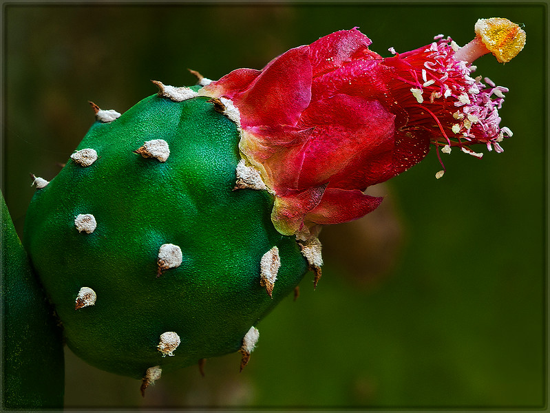 Cactus Flower Bud