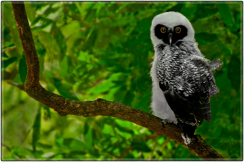 Owl at Rio Tenorio
