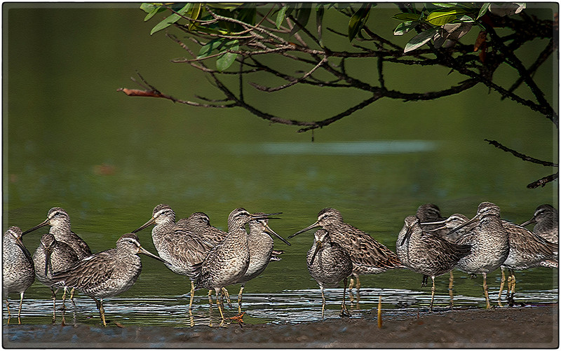 Dowitchers on a Mudflat