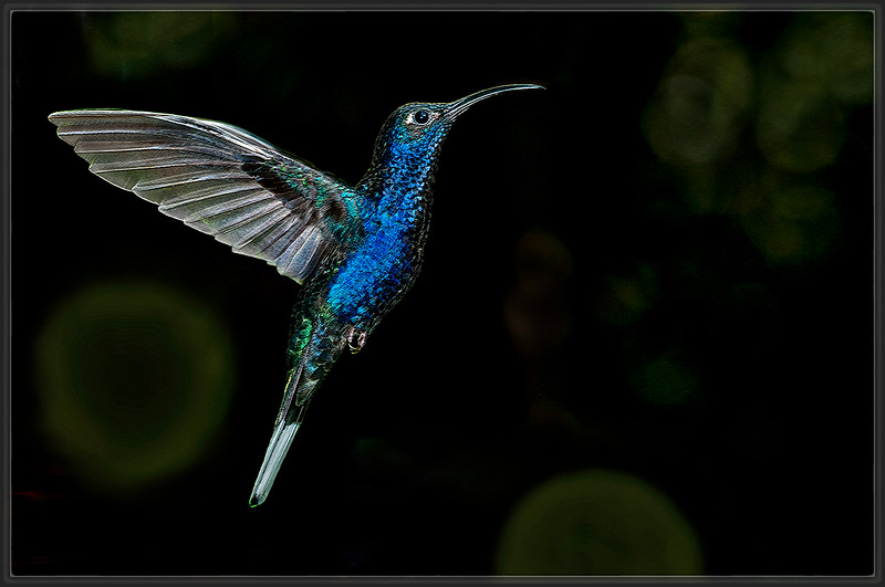 Violet Sabrewing Hummingbird  (A)