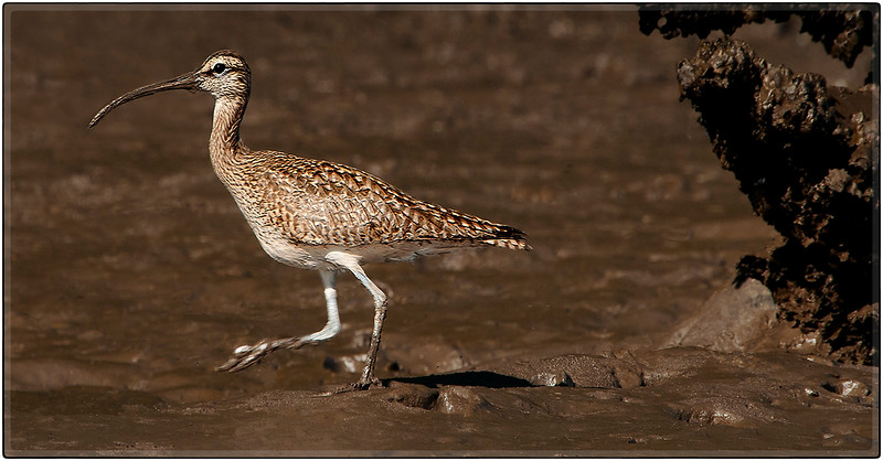 Whimbrel with a Muddy Beak