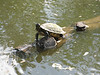 Saw serveral turtles in the lake.