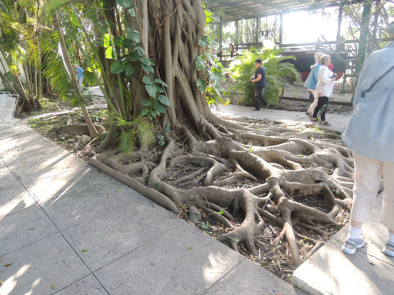 Tree roots near the swimming pool, with Hemingway's fishing boat in the background.