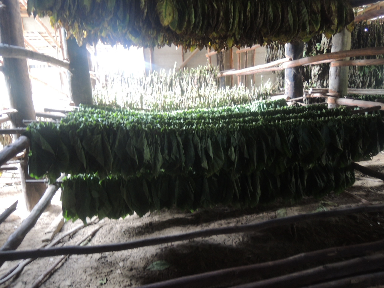 Tobacco being dried in the barn.