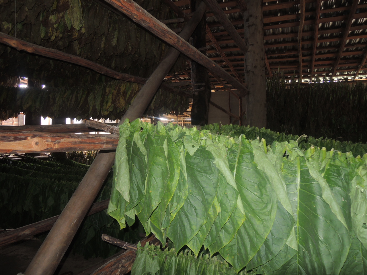 A better shot of tobacco drying in the barn.