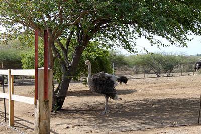 Ostrich Farm - Curacao