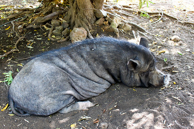 Ugly Pig at the Ostrich Farm - Curacao