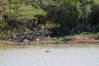 Flamingo Sanctuary near St. Willibrodus - Curacao