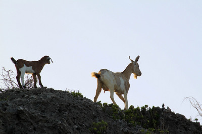 Goats on Alert - Curacao