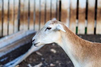 Goats  - Curacao