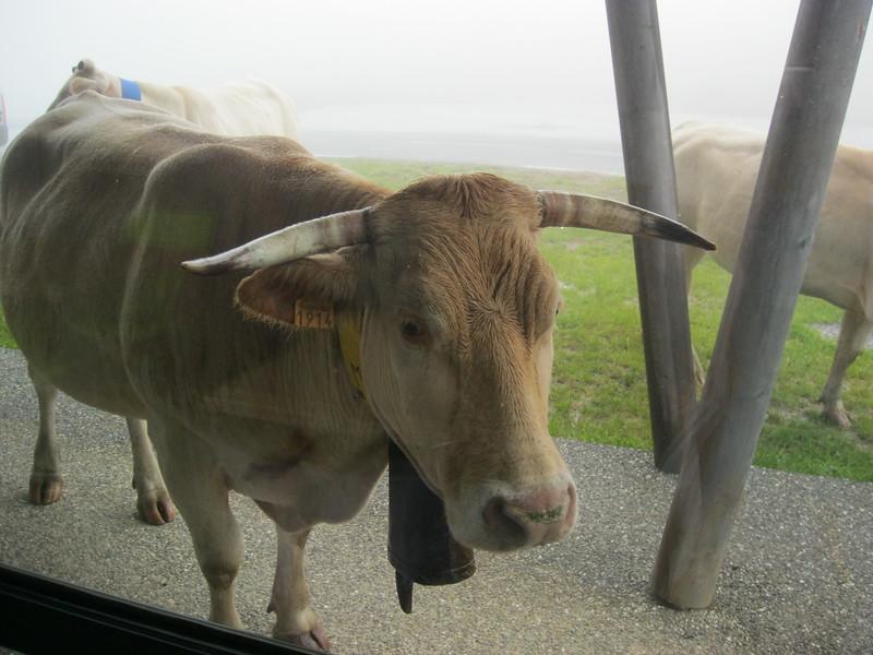 Cows at Chalet Iraty at Col Bagargui.