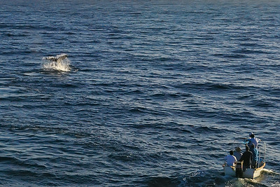 Whale tail - either Pacific or Sea of Cortez