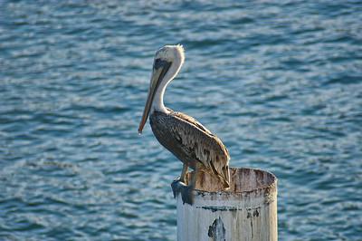Cabo San Lucas, MX pelican