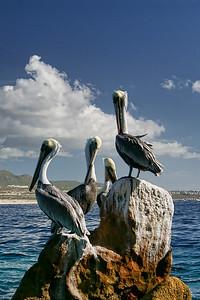 Pelicans on rocks in the Sea of Cortez