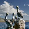 Pelicans on rocks in the Sea of Cortez