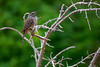 A Dickcissel (Spiza americana) perches in the branches.