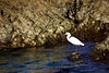A Great White Egret (Ardea alba) hunts in the intertidal zone along the Mexican coastline near Cabo San Lucas.