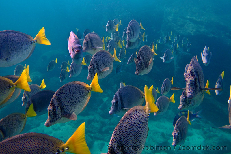 Chancho Surgeonfish (Pironurus laticlavius) school past the camera at in the Gulf of California (Sea of Cortez) near Land's End.