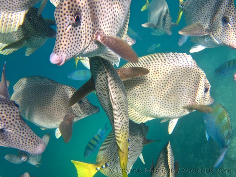 Chancho Surgeonfish (Pironurus laticlavius) school past the camera at in the Gulf of California (Sea of Cortez) near Land's End.