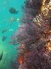 Panamic Sergeant Major fish (Abudefduf troschelii) swim around red sea fans in the Sea of Cortez near Land's End, Mexico.